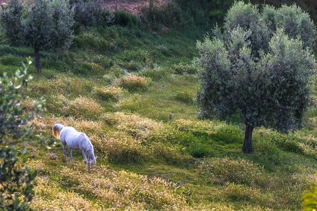 Cavallo bianco che si alimenta nel campo nell'oliveto della toscana italy
