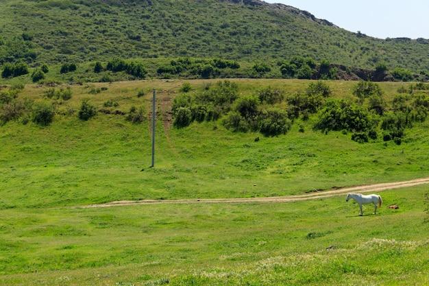 Cavallo bianco che pasce sul pascolo verde nelle montagne caucasiche