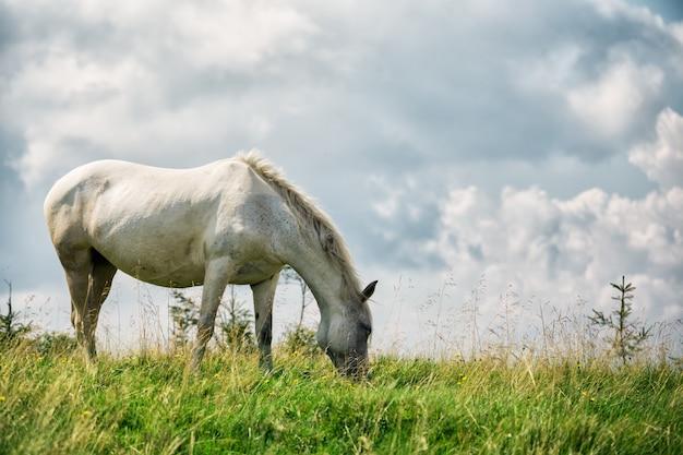 Cavallo bianco sul pascolo verde