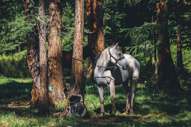 Cavallo bianco al guinzaglio a un albero di pino in una conifera nel distretto di ulagansky della repubblica di altai, russia