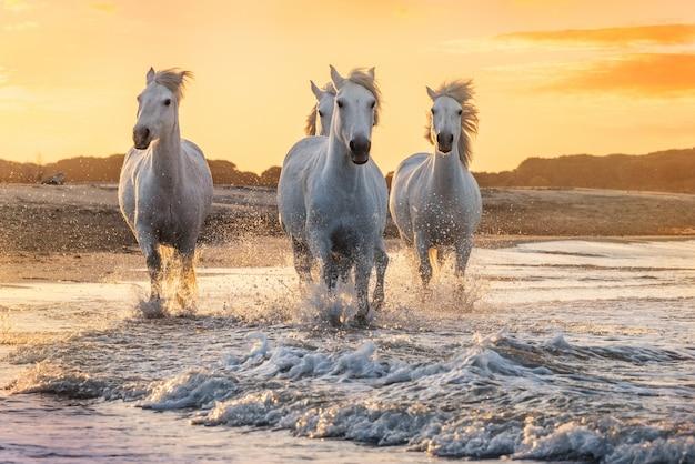 Cavalli bianchi in camargue, francia.