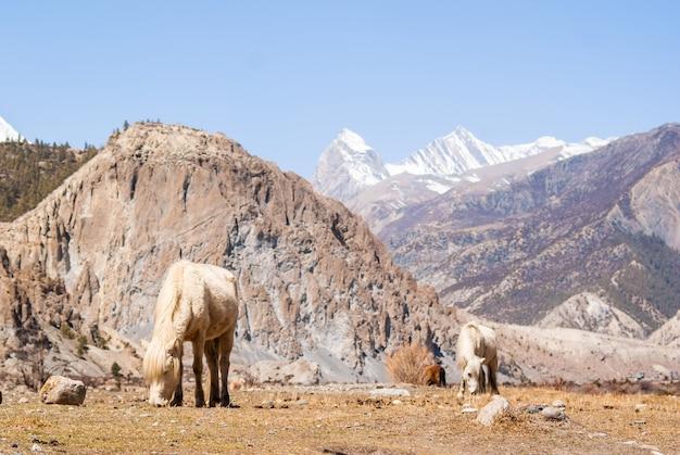 Cavalli bianchi al pascolo nelle montagne dell'himalaya con picchi di montagna