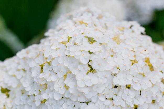 Fiore di ortensia bianca con luce solforosa. banner web, sfondo della natura. pianta di ortensia fiorita.