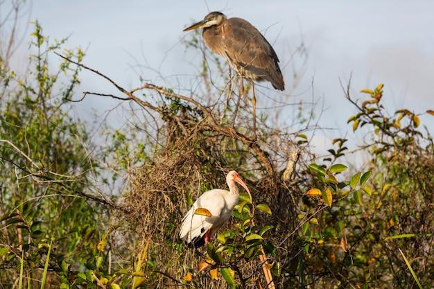 Ibis bianco e airone in un parco nazionale delle everglades, usa, florida