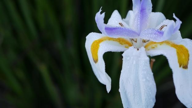 Fiore di iris bianco sbocciare, giardinaggio in california, stati uniti d'america. delicata fioritura nel giardino del mattino di primavera, gocce di rugiada fresca sui petali. flora primaverile in soft focus. sfondo botanico naturale da vicino