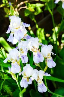 Fiore bianco dell'iride sul fondo verde del giardino