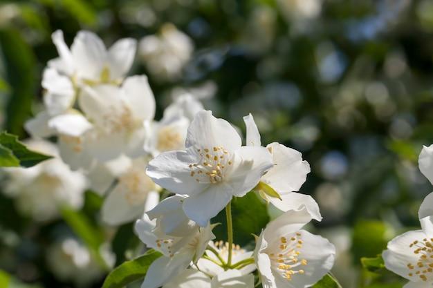 Gelsomino bianco in fiore d'estate, piante fiorite per decorare il territorio
