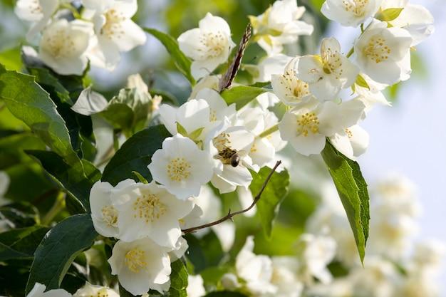 Fiori di gelsomino bianco