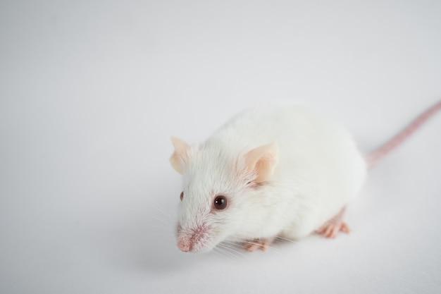 Ratto di laboratorio bianco isolato su sfondo grigio.