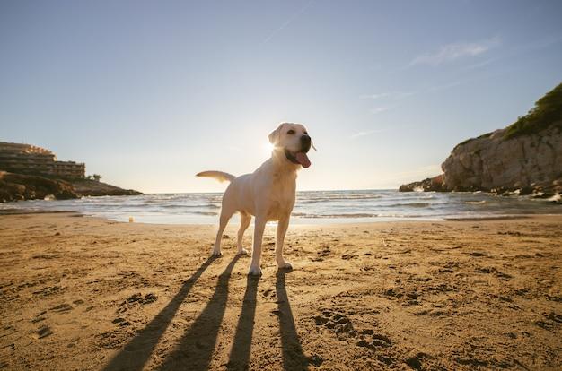 Documentalista di labrador bianco sulla spiaggia con il sole sullo sfondo