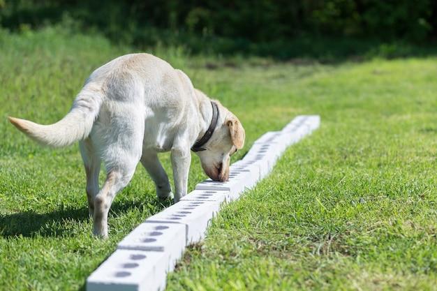 White labrador retriever annusa una fila di contenitori alla ricerca di uno con un oggetto nascosto. formazione per addestrare cani guida per polizia, dogana o servizio di frontiera.