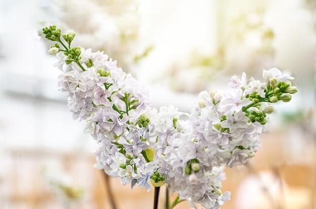 Lillà bianco che fiorisce in primavera