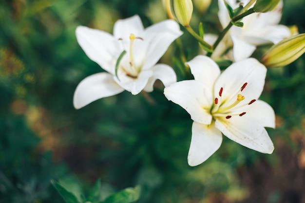 Gigli bianchi in giardino su uno sfondo verde
