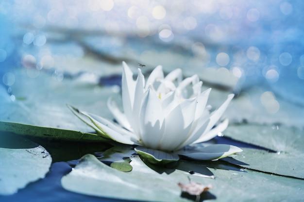 Lilly bianco nel laghetto estivo verde