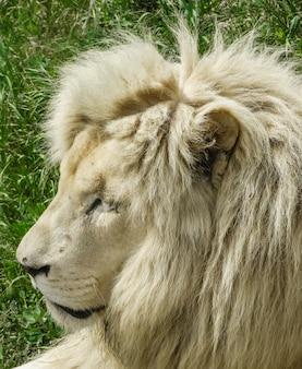 Maschio di leone bianco, (panthera leo), faccia laterale