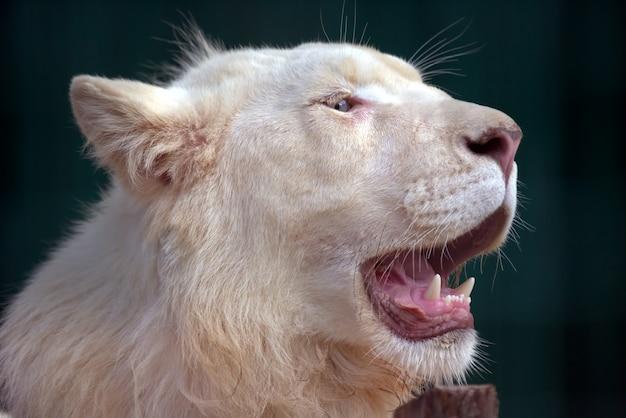 Il leone bianco con la bocca spalancata