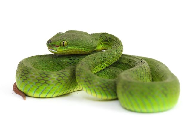 Serpente di pit viper verde dalla bocca bianca isolato su fondo bianco