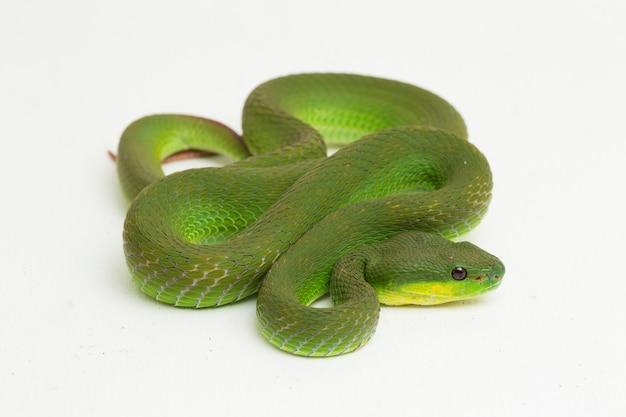 Serpente di green pit viper dalle labbra bianche su bianco