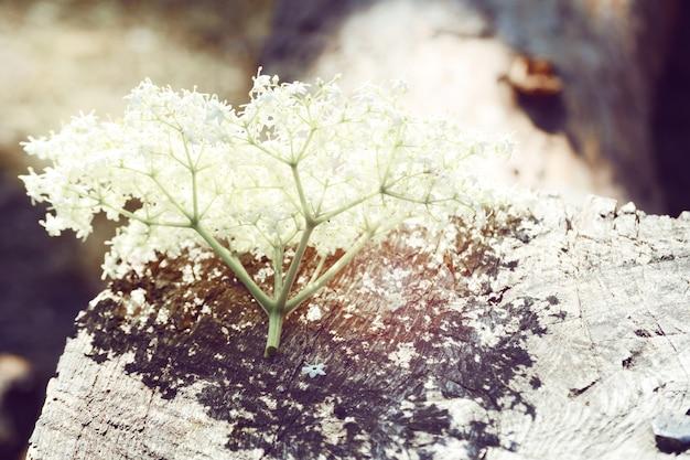 Fiorellini bianchi adagiati su legno, infiorescenza di fiorellini bianchi