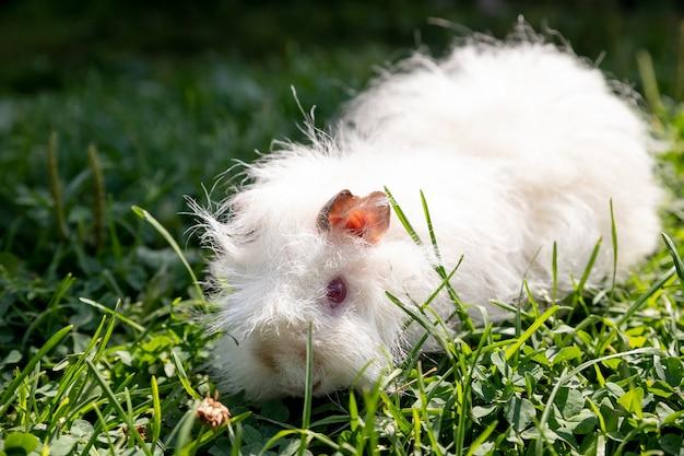 Cavia bianca dei capelli lunghi in erba verde verdure fresche nell'alimentazione degli animali domestici. l'animale domestico sta camminando sul prato verde estivo. porcellino d'india che mangia erba all'esterno