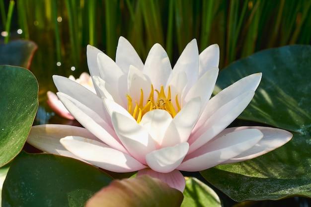 Fiore di loto bianco