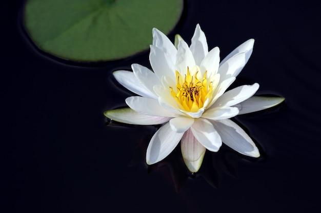 Fiore di giglio di loto bianco sull'acqua