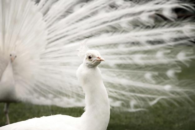Pavone maschio bianco su erba verde
