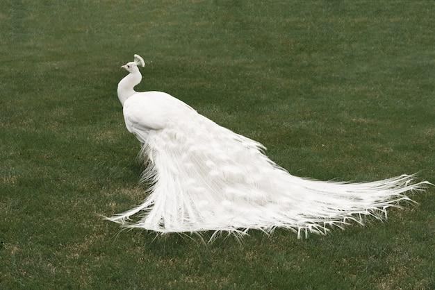 Pavone maschio bianco