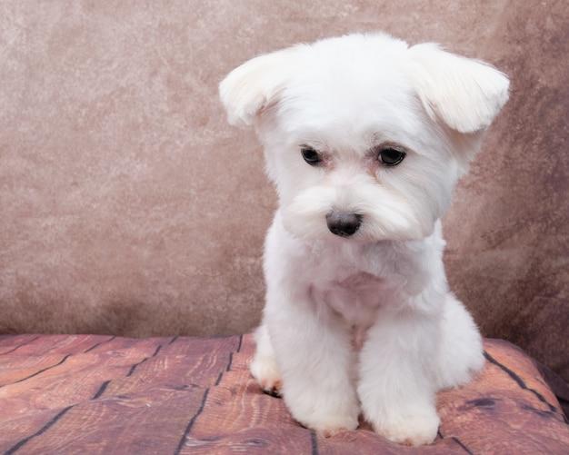 Un cucciolo di cane maltese bianco si siede su un bellissimo