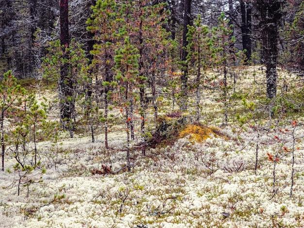 Yagel muschio bianco favolosa foresta settentrionale