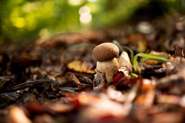 Funghi bianchi nei boschi, su uno sfondo di foglie, luce solare intensa. porcini. fungo.