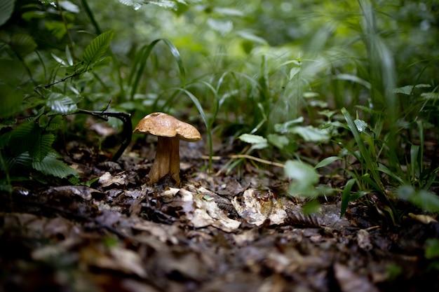 Funghi bianchi nel bosco, su un fogliame, luce solare intensa