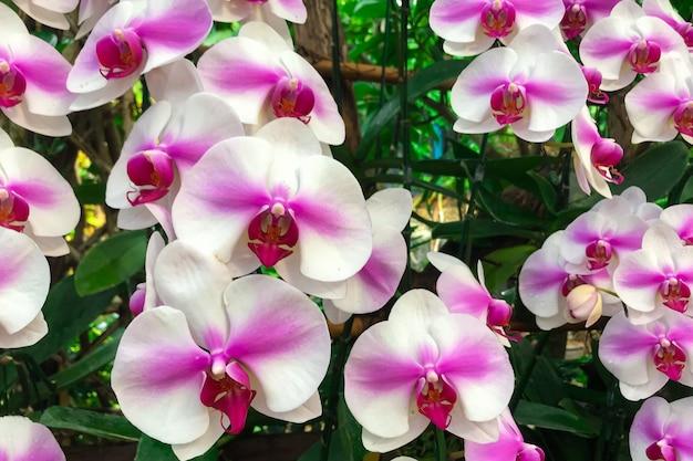 Fiore bianco dell'orchidea in giardino all'orchidea di phalaenopsis di inverno.