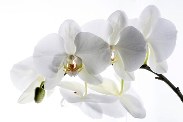 L'orchidea bianca fiorisce il primo piano su uno spazio bianco