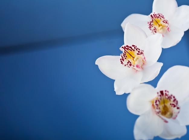 Le orchidee bianche fioriscono sull'azzurro