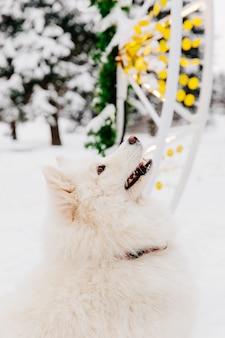 Cane di razza bianco che si siede sulla neve in una foresta. animali divertenti