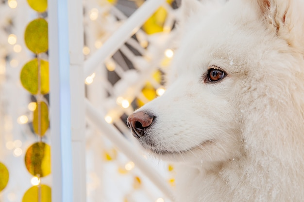 Cane di razza bianco sulla neve in una foresta. animali divertenti