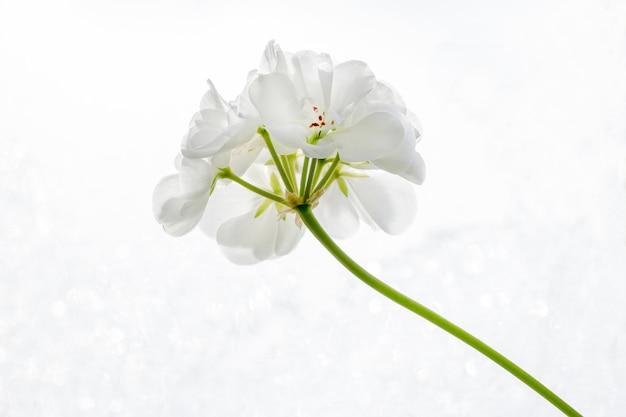 Fiore bianco del pelargonium (geranio) su un primo piano bianco del fondo