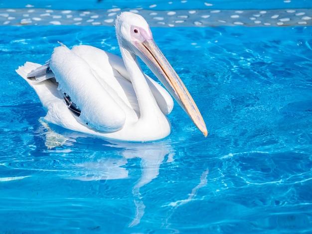 L'uccello del pellicano bianco con il becco lungo giallo nuota nella piscina di acqua, primi piani