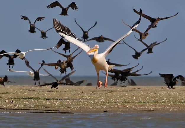 Il pellicano bianco vola contro lo stormo di cormorani in volo