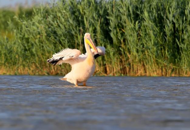 Un pellicano bianco con le ali aperte asciuga le piume al vento