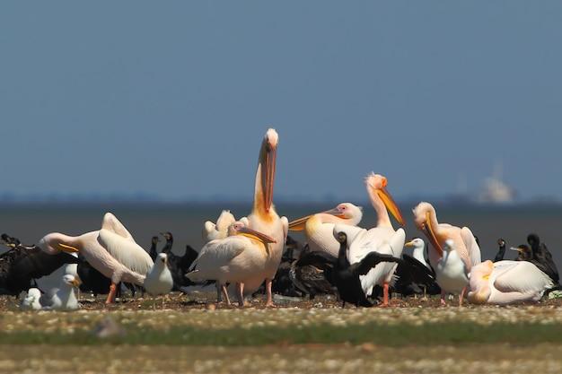 Pellicani bianchi, cormorani e gabbiani riposano su un banco di sabbia in una luminosa giornata di sole