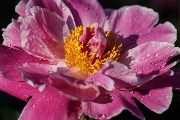 Fine rosa peonia bianca in su. sfondo naturale.