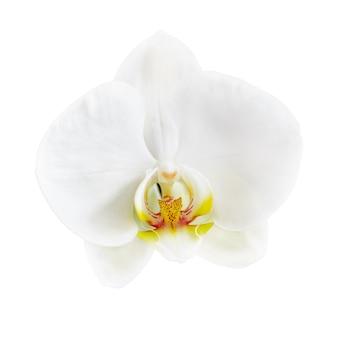 Fiore bianco dell'orchidea di phalaenopsis isolato su bianco