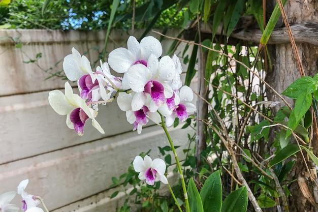 L'orchidea bianca phalaenopsis delle orchidee thailandesi cresce bene da molto tempo in thailandia