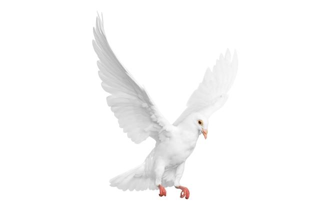 Volo del piccione bianco isolato sopra priorità bassa bianca