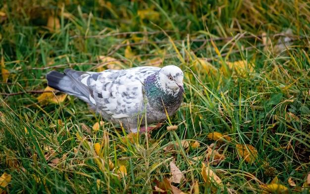 Un piccione bianco sull'erba in un parco cittadino circondato da foglie autunnali gialle