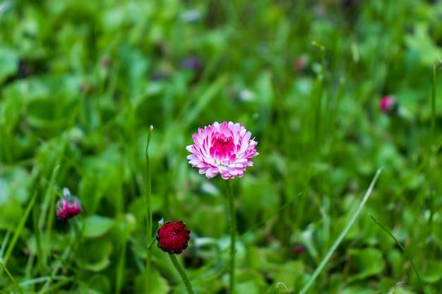 Margherite bianche e rosa in un prato verde da vicino