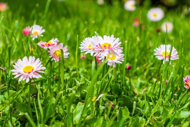 Margherite bianche e rosa in un primo piano verde del prato