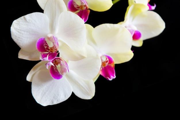 Orchidee bianche e rosa isolate su sfondo nero
